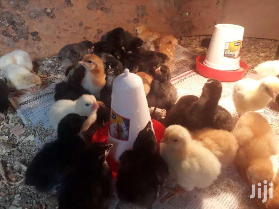Chicks 4 Days Old Kienyeji Improved | Livestock & Poultry for sale in Tononoka, Mombasa, Kenya