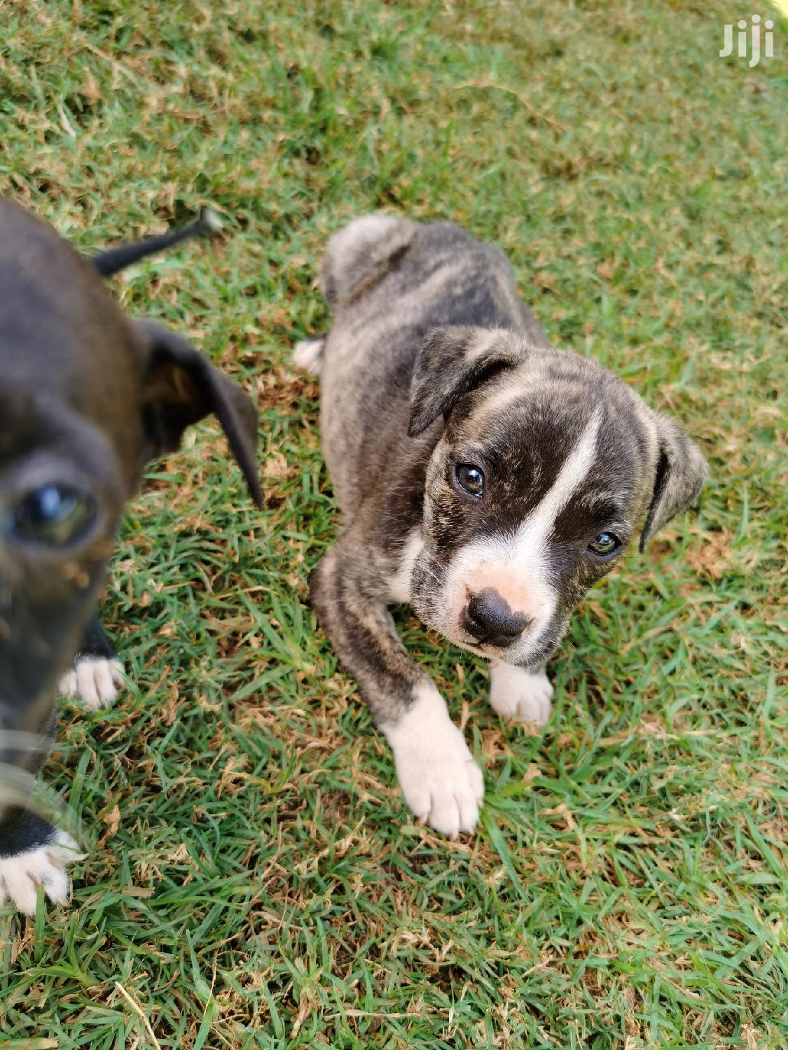 Young Female Purebred American Pit Bull Terrier | Dogs & Puppies for sale in Karen, Nairobi, Kenya
