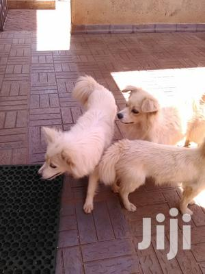 Young Male Purebred Chihuahua   Dogs & Puppies for sale in Nairobi, Kilimani
