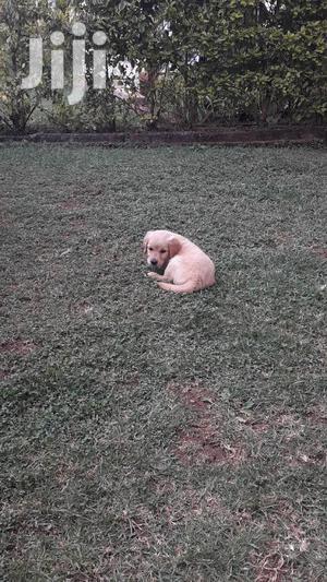Baby Female Purebred Golden Retriever   Dogs & Puppies for sale in Nairobi, Karen