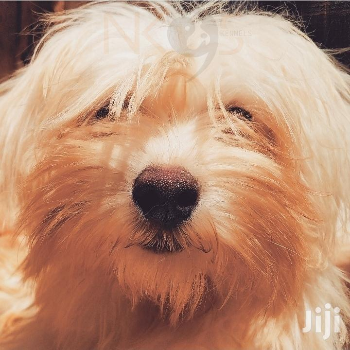 Archive: Young Male Purebred Havanese in Njiru - Dogs ...
