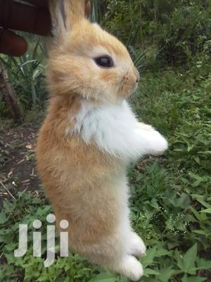 Brown And White Rabbits   Livestock & Poultry for sale in Mombasa, Nyali