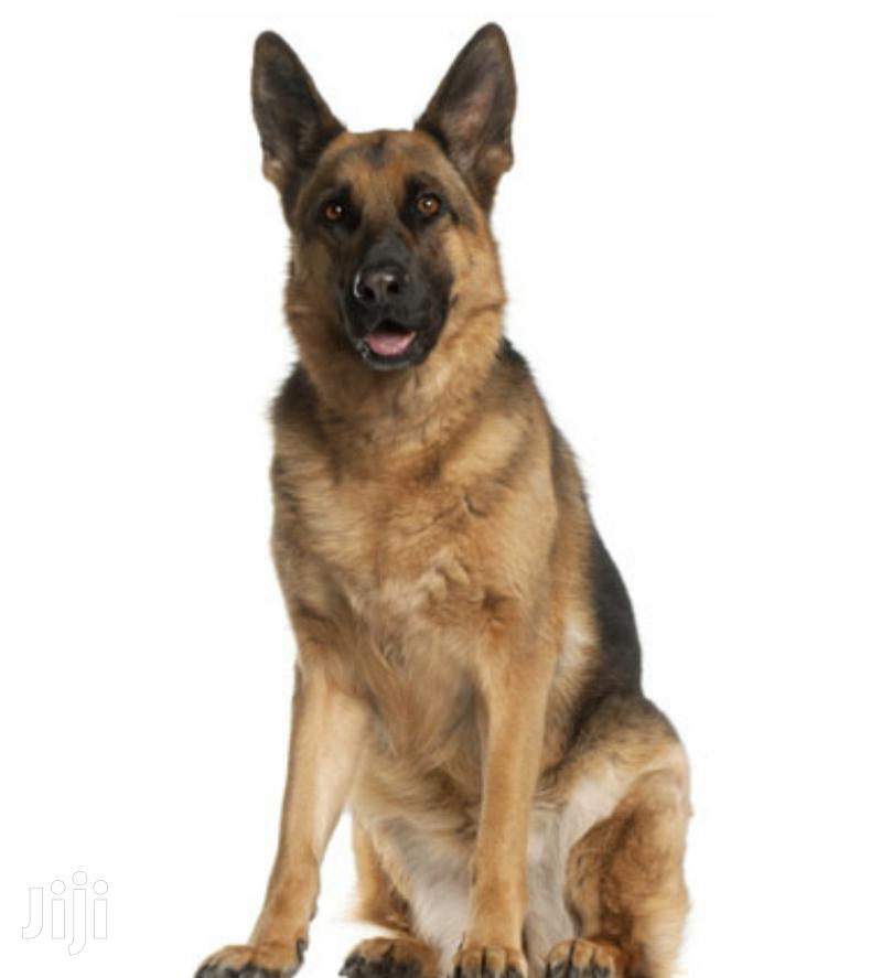Archive: Senior Female Purebred German Shepherd