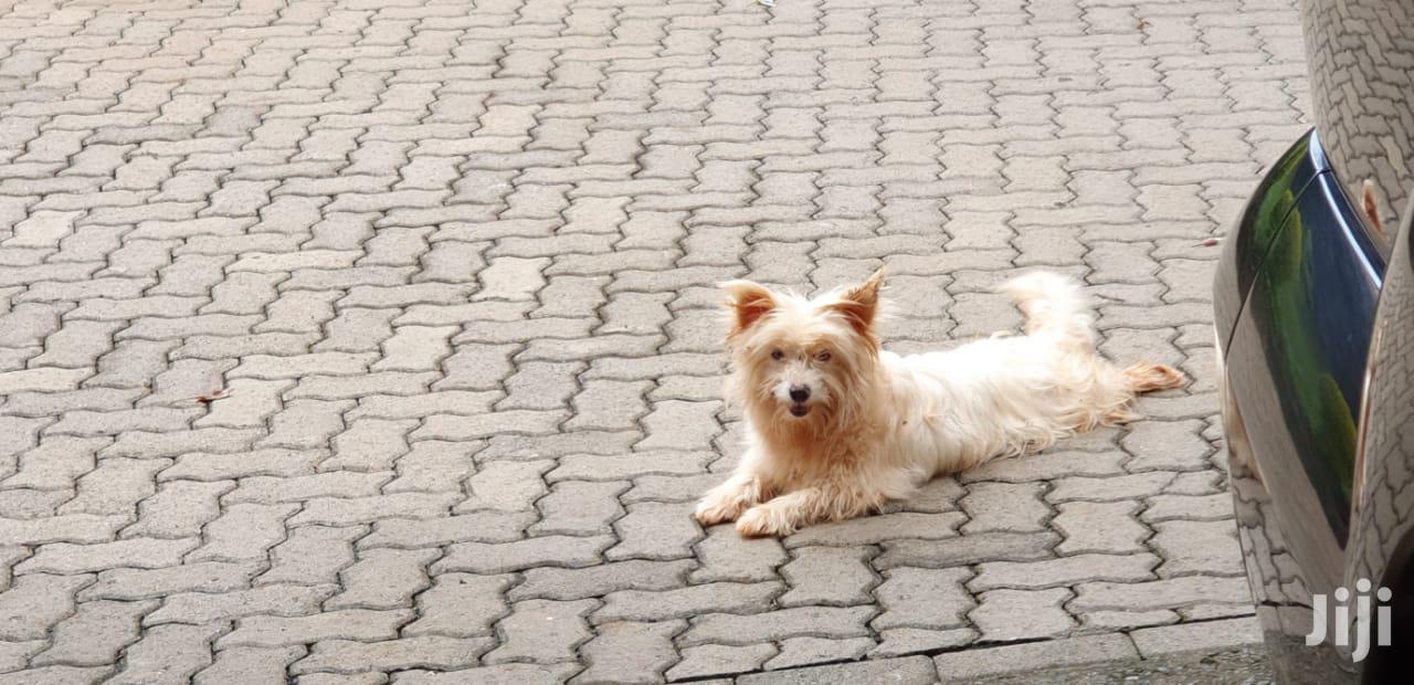 Young Female Purebred Japanese Spitz | Dogs & Puppies for sale in Ongata Rongai, Kajiado, Kenya