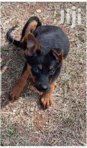 Young Male Mixed Breed Rottweiler   Dogs & Puppies for sale in Nairobi, Nairobi Central