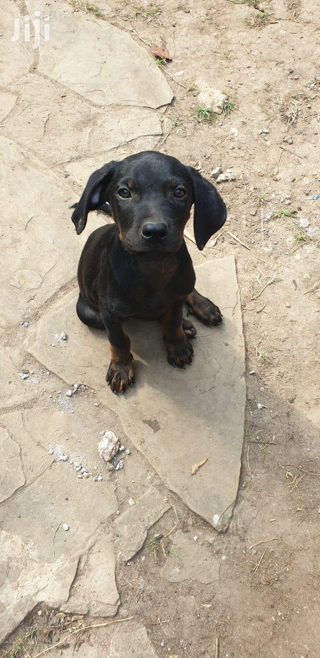 Archive: Young Male Mixed Breed Rottweiler