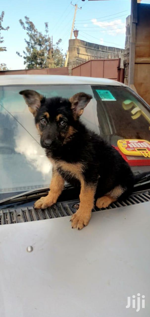 1-3 Month Female Purebred German Shepherd | Dogs & Puppies for sale in Nairobi Central, Nairobi, Kenya