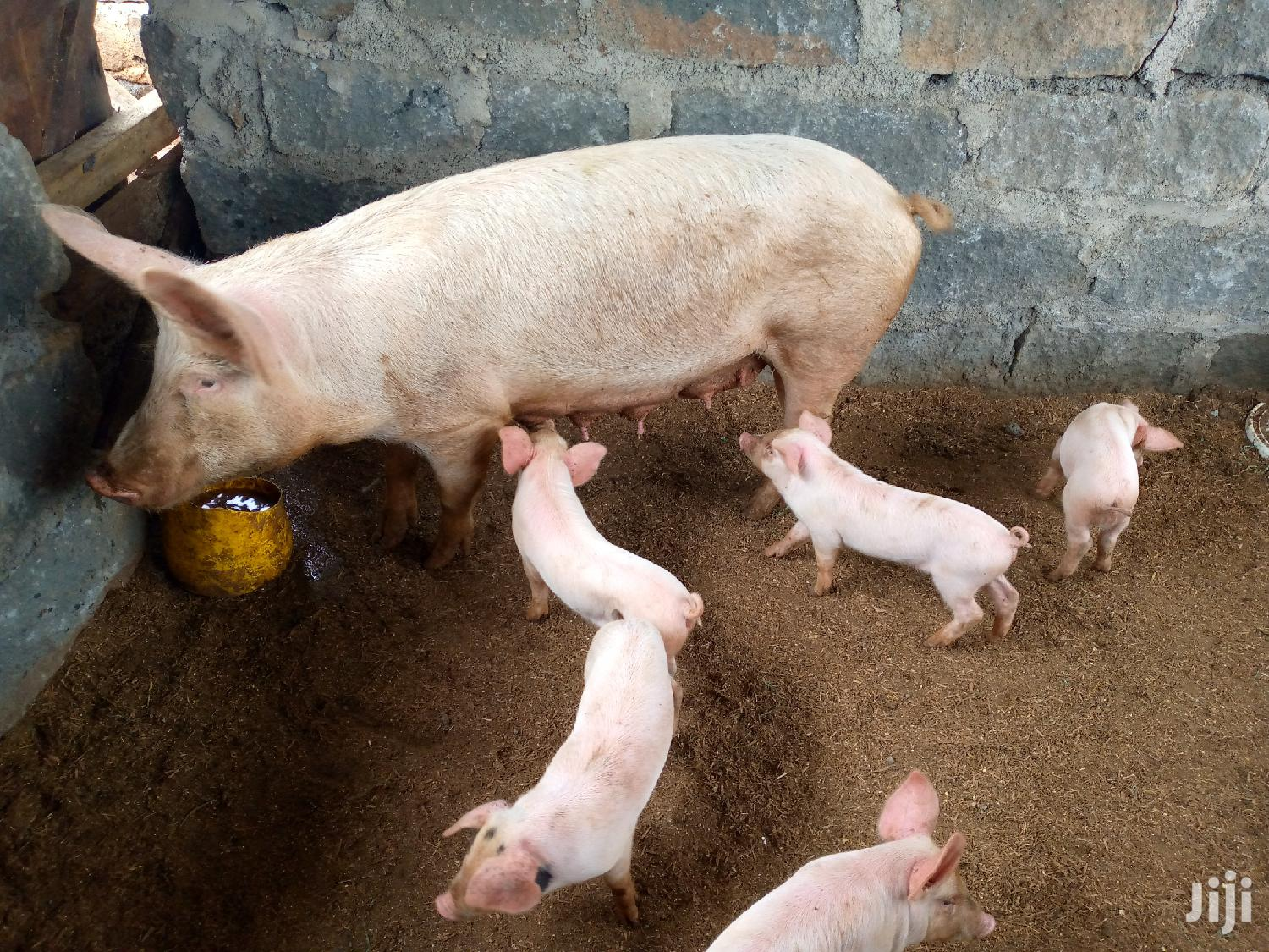 Archive: Two Mother Pigs For Sale