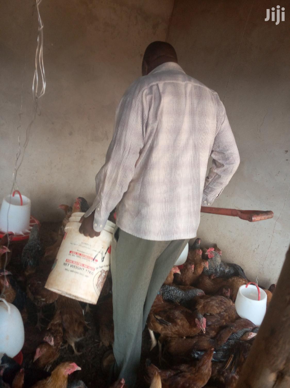 Archive: Improved Kieyeji Chicke For Sale