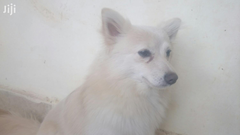 1+ Year Female Mixed Breed Japanese Spitz | Dogs & Puppies for sale in Ndenderu, Kiambu, Kenya
