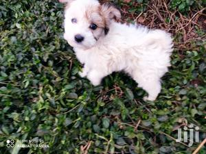 Baby Male Purebred Havanese | Dogs & Puppies for sale in Nairobi, Nairobi Central