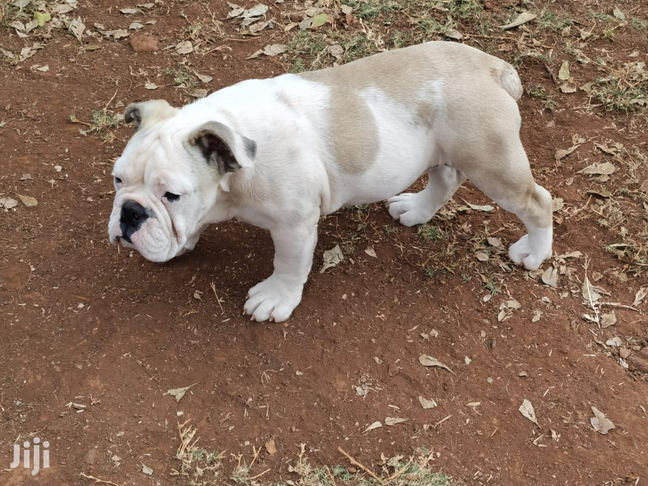 Archive: Baby Male Purebred Bulldog