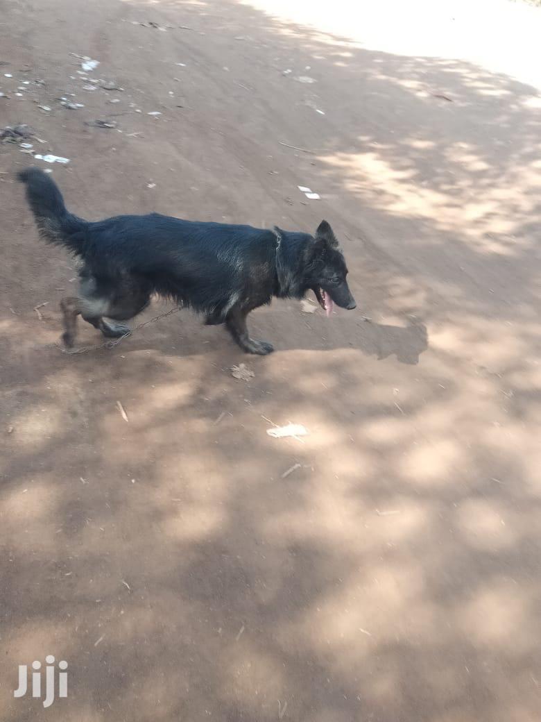 Adult Female Purebred German Shepherd   Dogs & Puppies for sale in Ruiru, Kiambu, Kenya