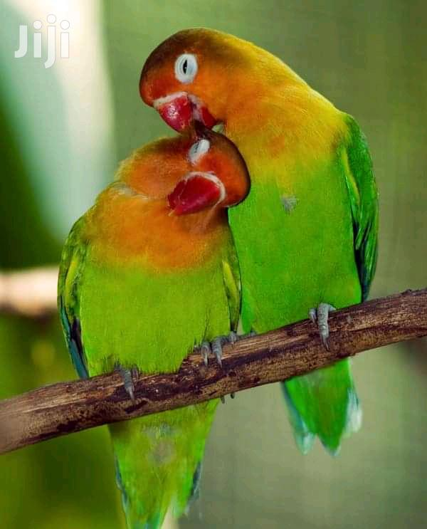 Archive: Love Birds For Sale