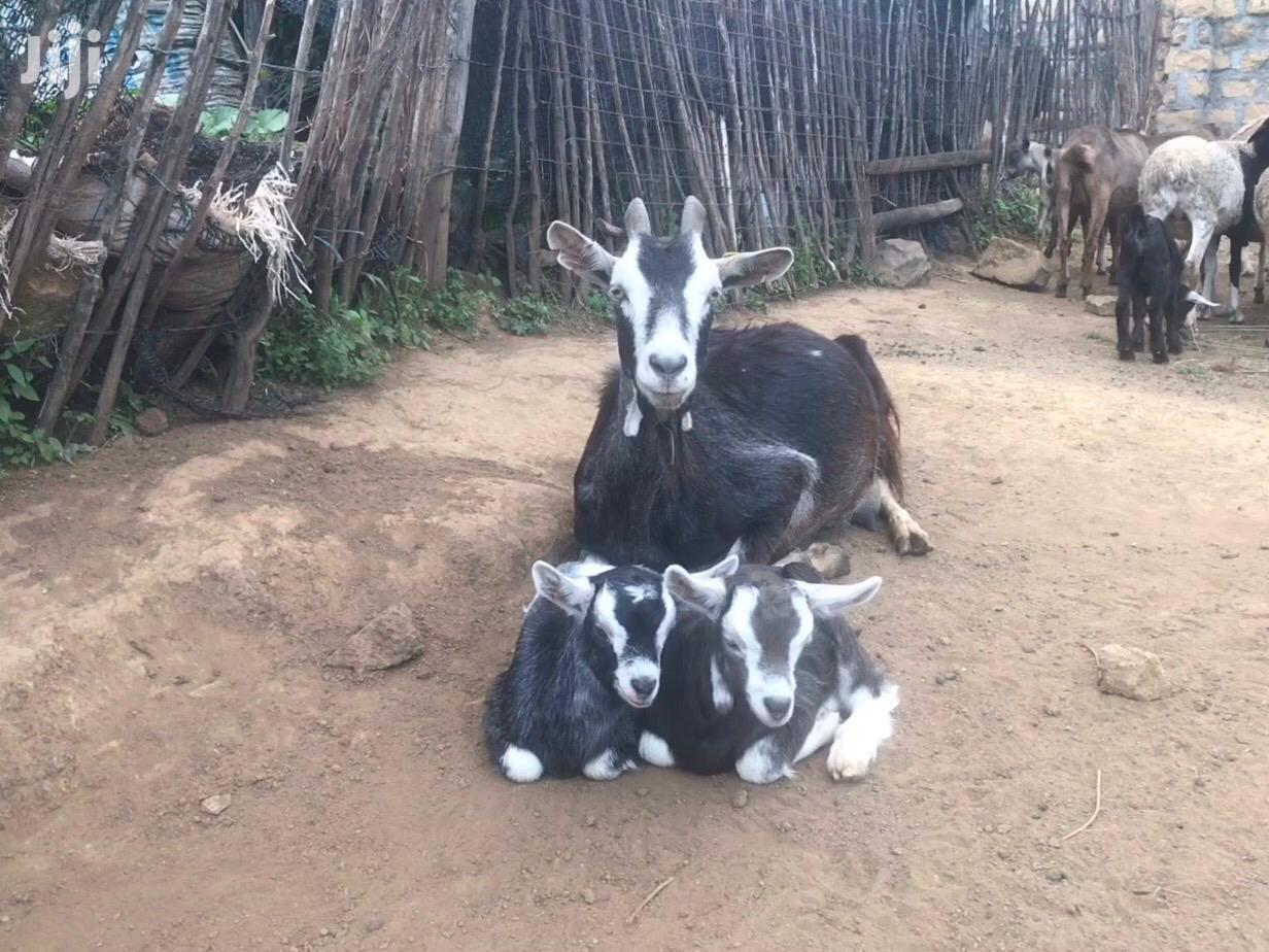 Archive: Dairy Goats Pure Togenburg