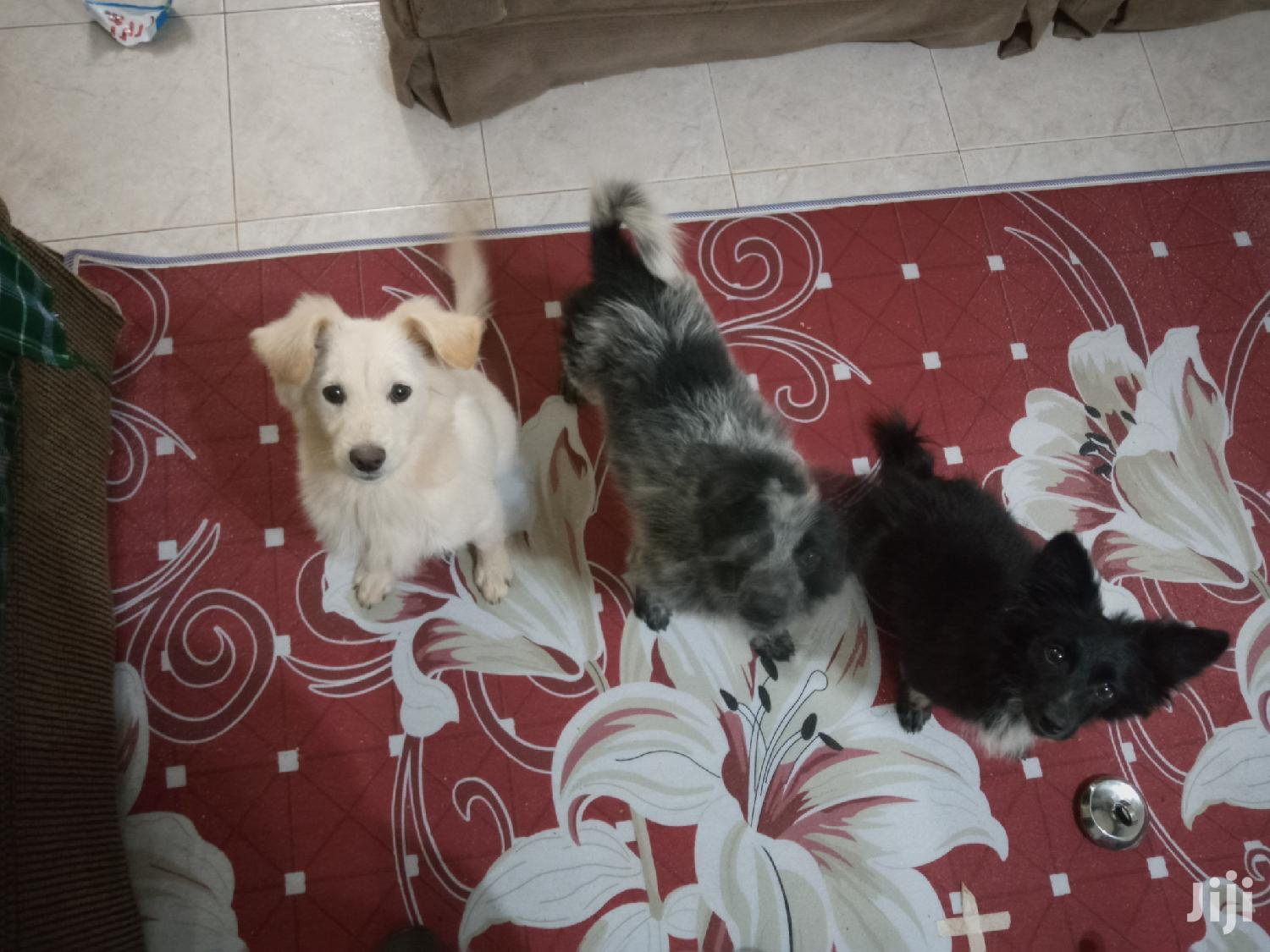 Archive: Baby Male Purebred Japanese Spitz