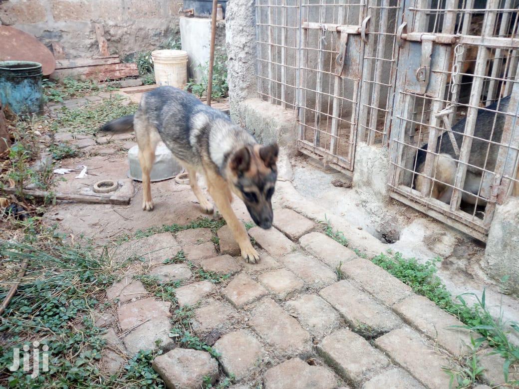 Adult Female Purebred Belgian Malinois | Dogs & Puppies for sale in Ruiru, Kiambu, Kenya