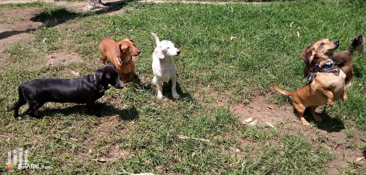Archive: Young Male Purebred Dachshund