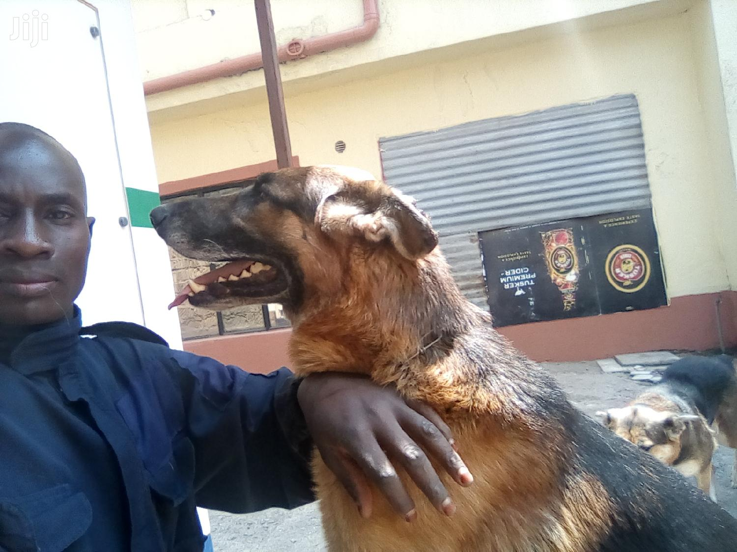 Archive: Adult Male Purebred German Shepherd