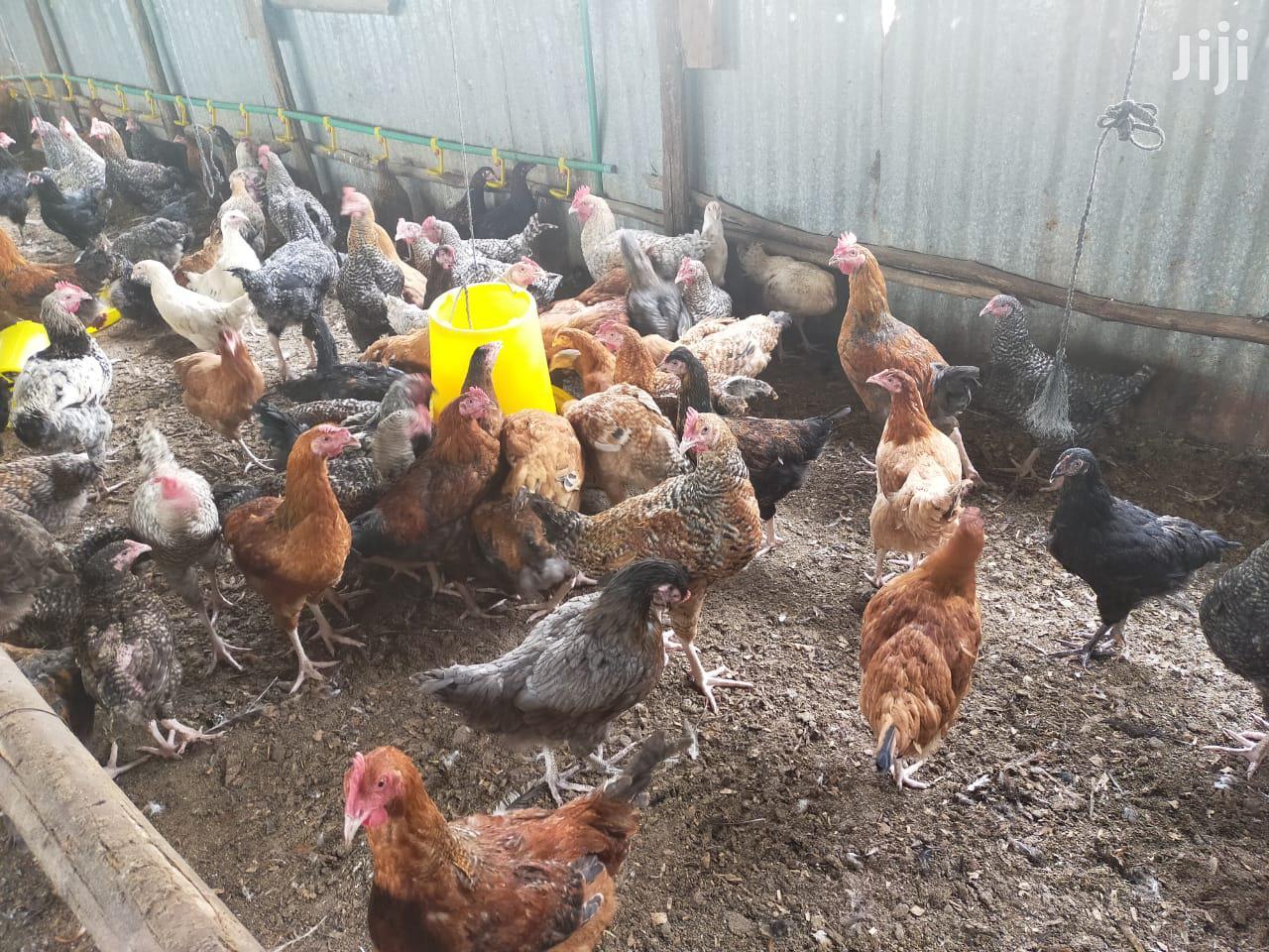 Archive: Lilico Poultry Farm