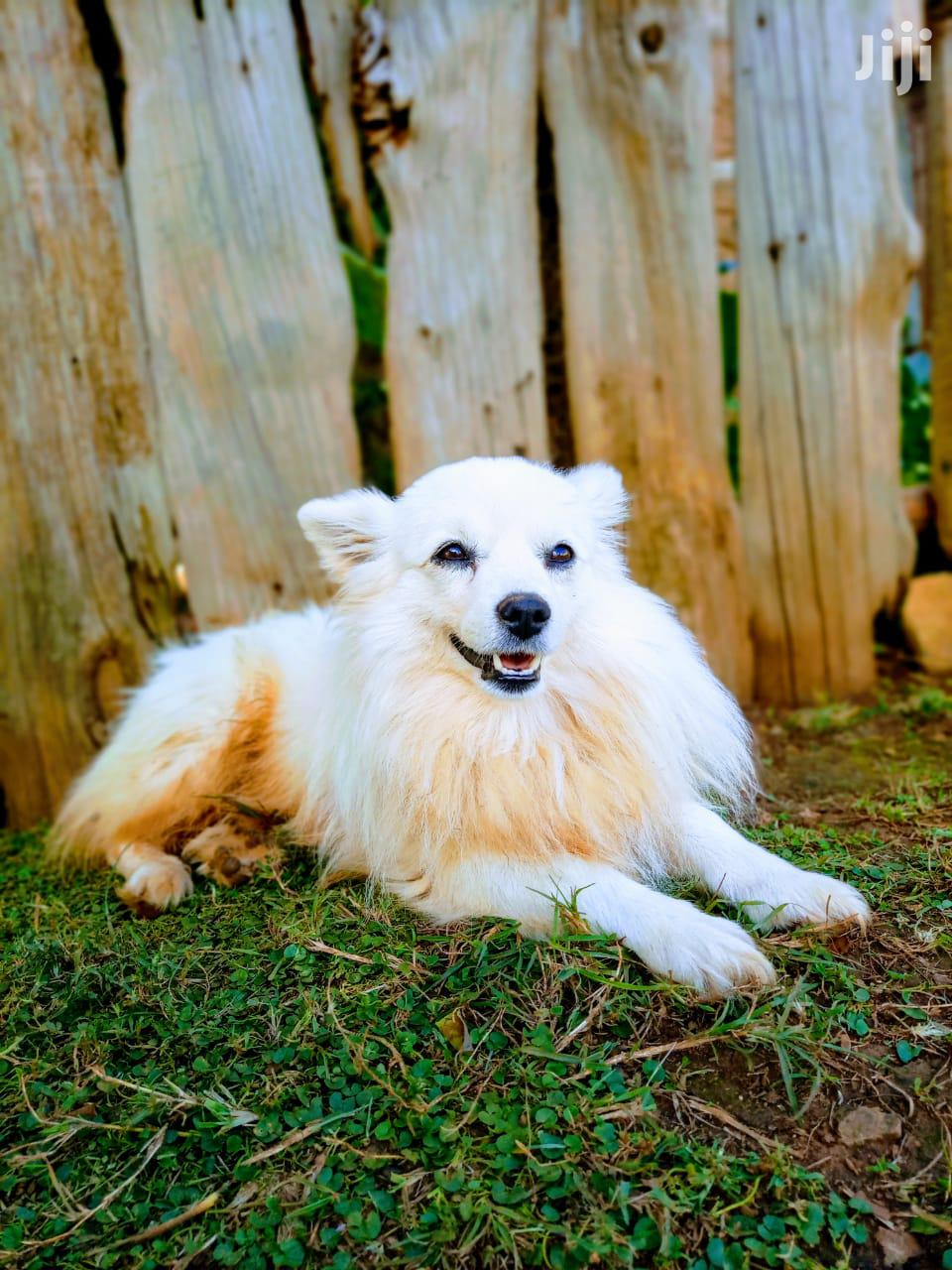 Young Female Mixed Breed Japanese Spitz
