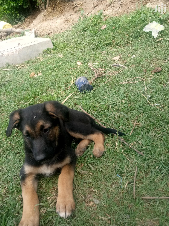Young Female Purebred German Shepherd | Dogs & Puppies for sale in Nanyuki, Laikipia, Kenya