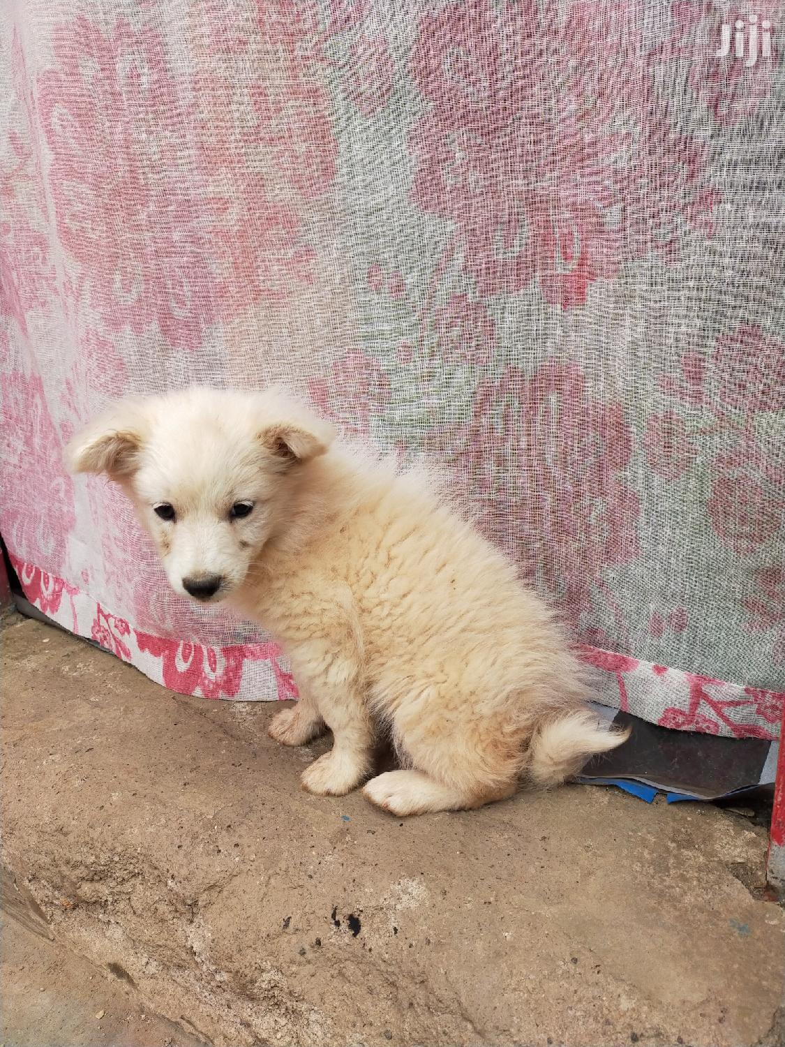 Archive: Young Female Purebred Japanese Spitz