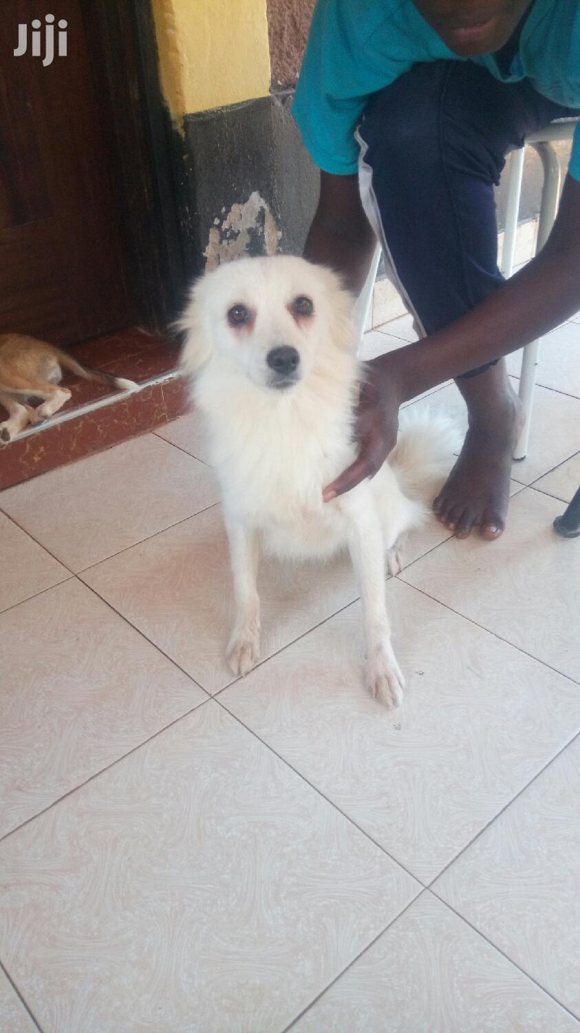 1+ Year Female Mixed Breed Pomeranian | Dogs & Puppies for sale in Kisauni, Mombasa, Kenya