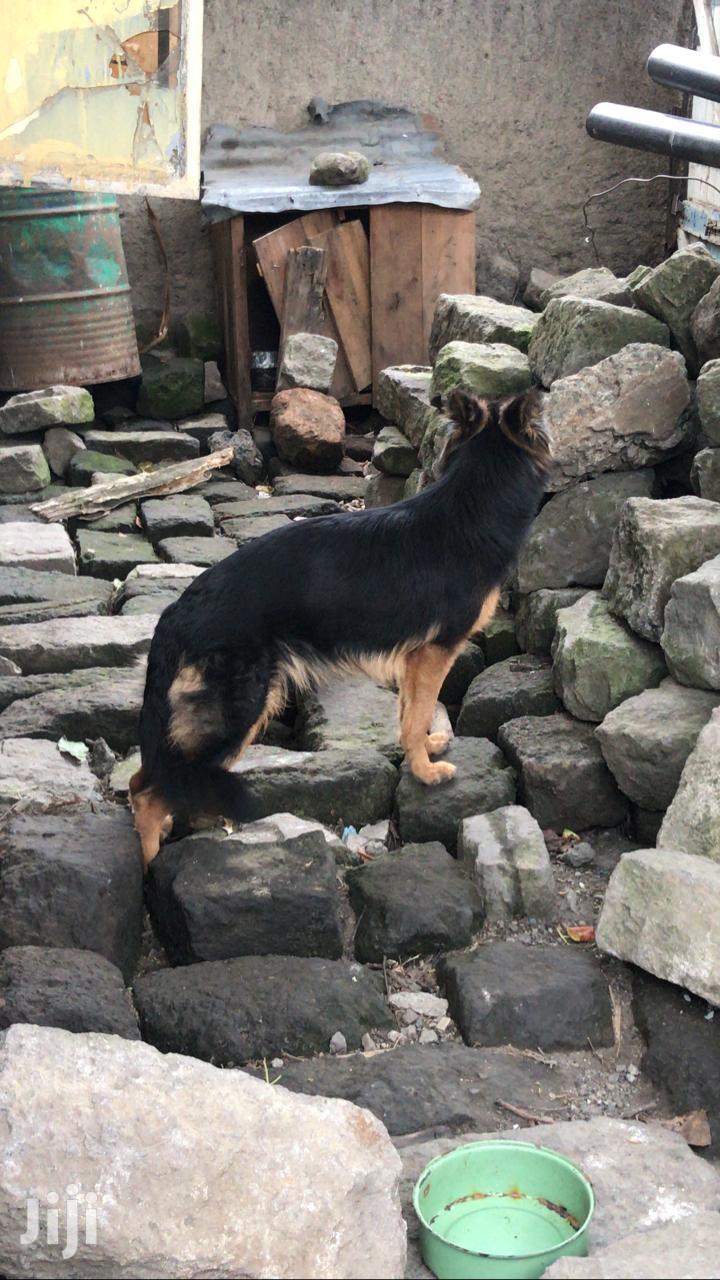 Archive: Adult Female Mixed Breed German Shepherd