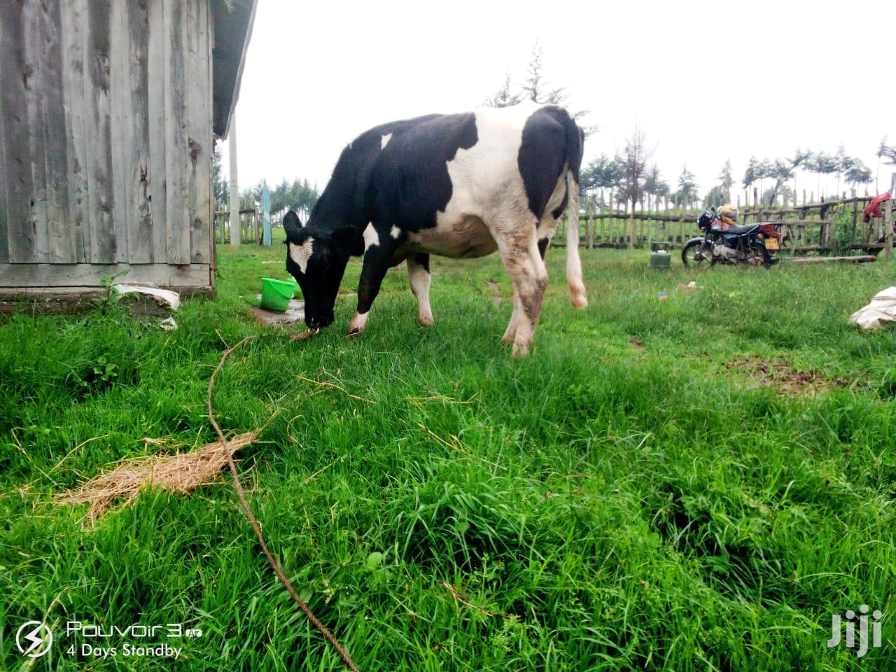 High Quality Cows With 6 Months Pregnancy