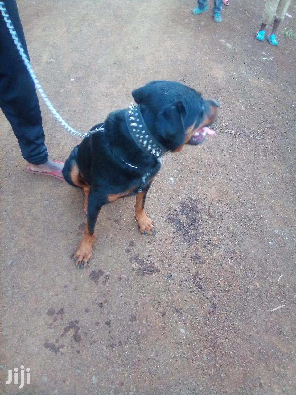 Archive: Senior Male Purebred Rottweiler