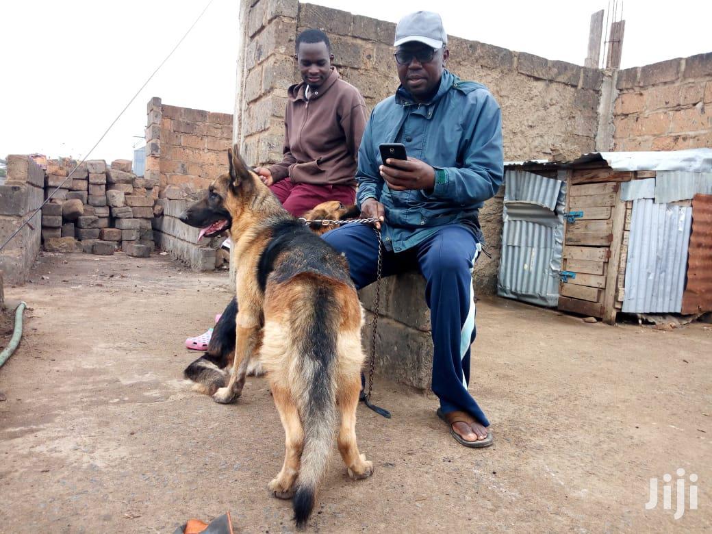 Archive: Senior Male Purebred German Shepherd