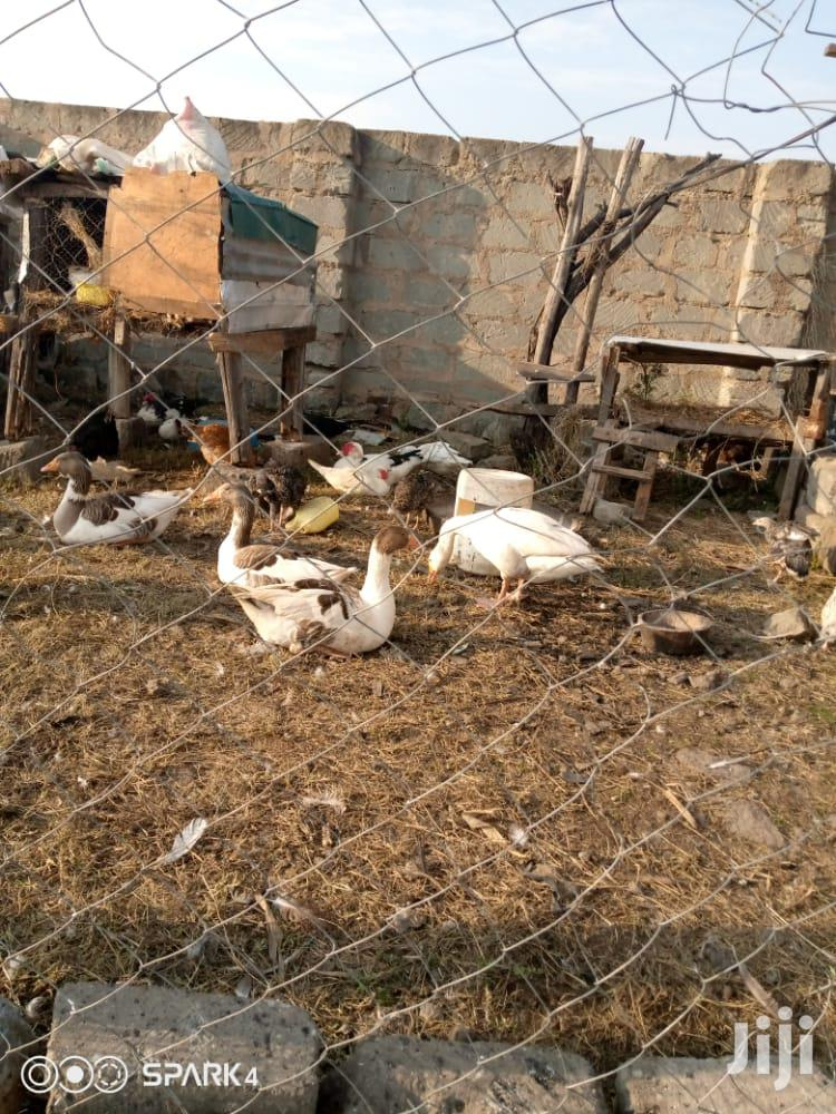 Archive: Mature Geese