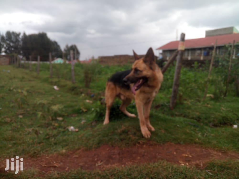 Senior Male Purebred German Shepherd | Dogs & Puppies for sale in Huruma (Turbo), Uasin Gishu, Kenya