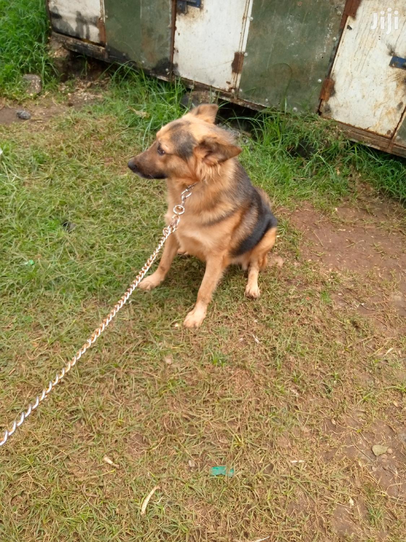 Archive: Adult Male Purebred German Shepherd