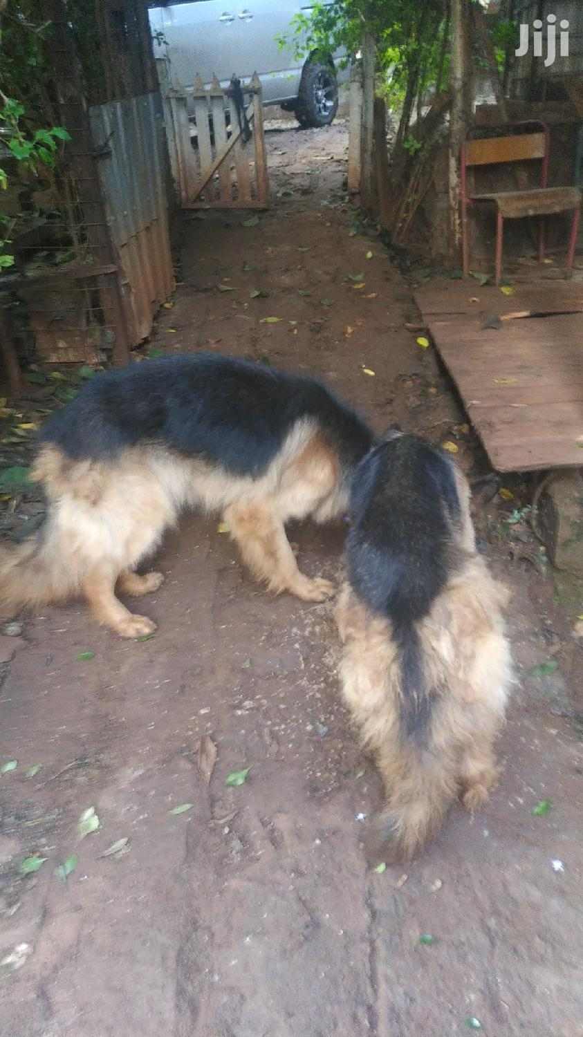 Adult Male Purebred German Shepherd | Dogs & Puppies for sale in Karen, Nairobi, Kenya