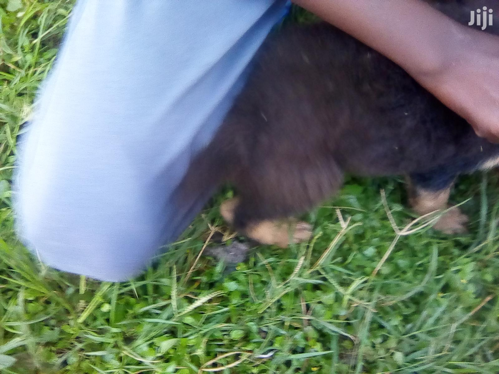 Archive: Baby Male Mixed Breed German Shepherd