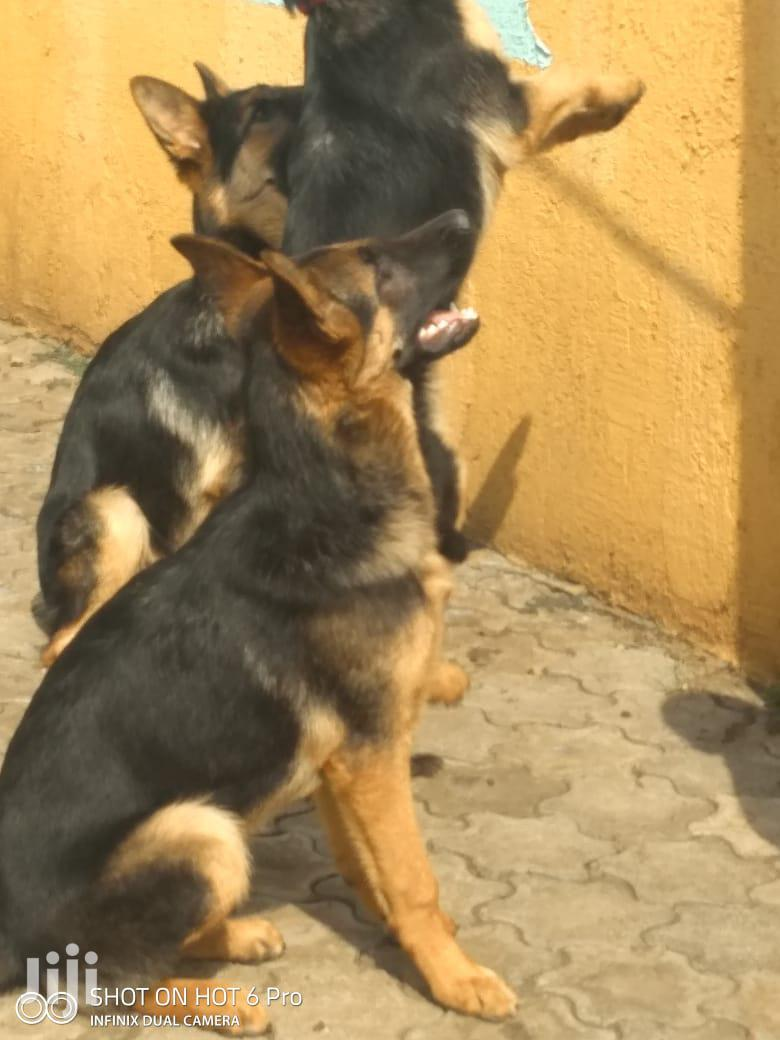 3-6 Month Male Purebred German Shepherd | Dogs & Puppies for sale in Nakuru East, Nakuru, Kenya