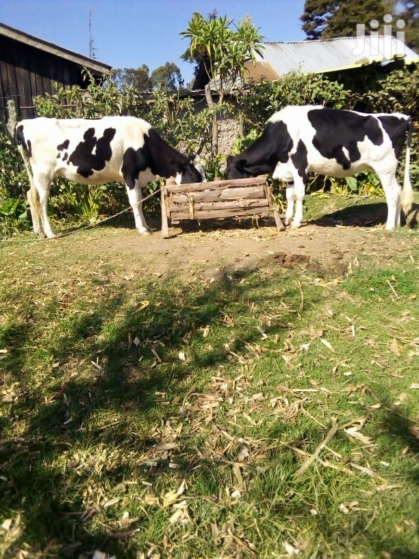 Archive: Healthy Dairy Cows