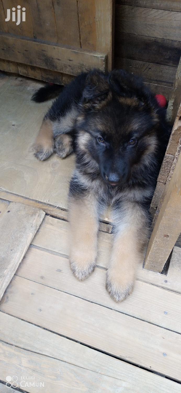 1-3 Month Female Purebred German Shepherd | Dogs & Puppies for sale in Inoi, Kirinyaga, Kenya