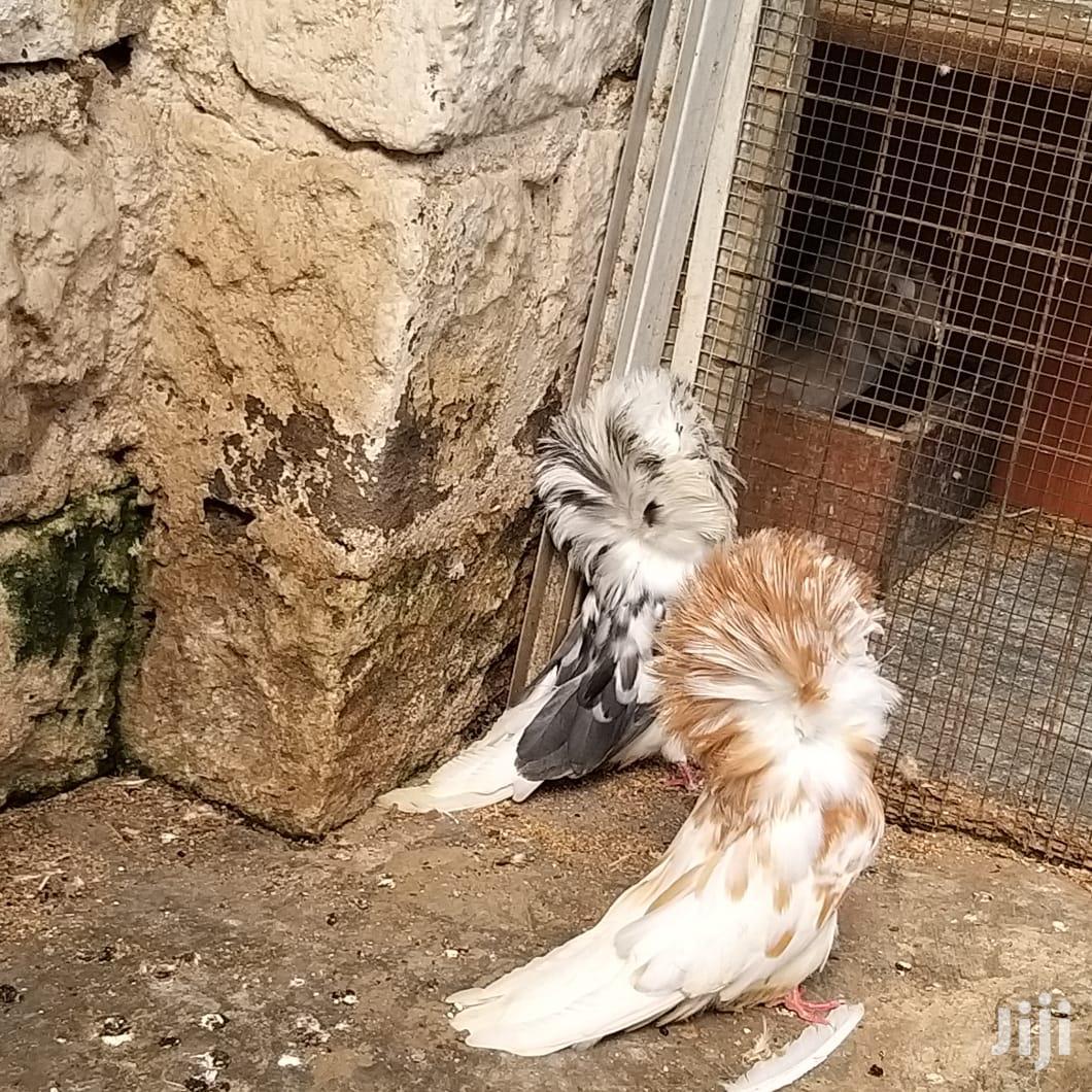 Jacobin Pigeon | Birds for sale in Nairobi Central, Nairobi, Kenya