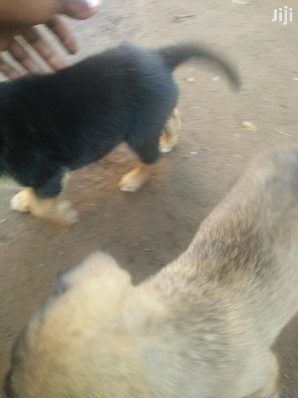 Young Male Mixed Breed German Shepherd | Dogs & Puppies for sale in Central Kisumu, Kisumu, Kenya