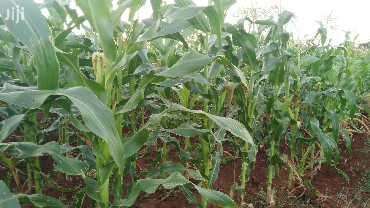 Archive: Green Maize