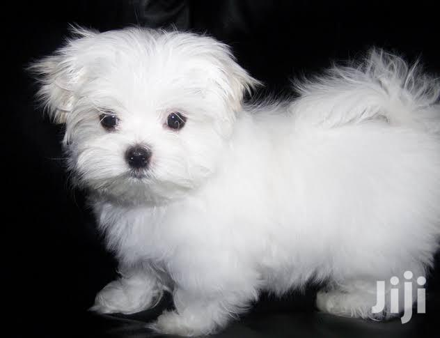 Young Female Purebred Maltese