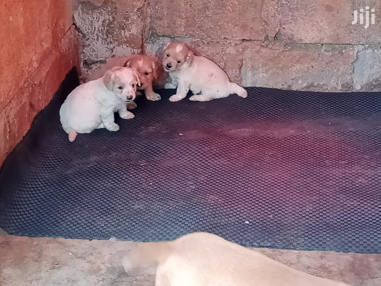 1-3 Month Female Purebred Maltese | Dogs & Puppies for sale in Karen, Nairobi, Kenya