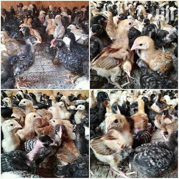 Improved Kienyeji Kari,Kuroilers & Rainbow Chicks For Sale