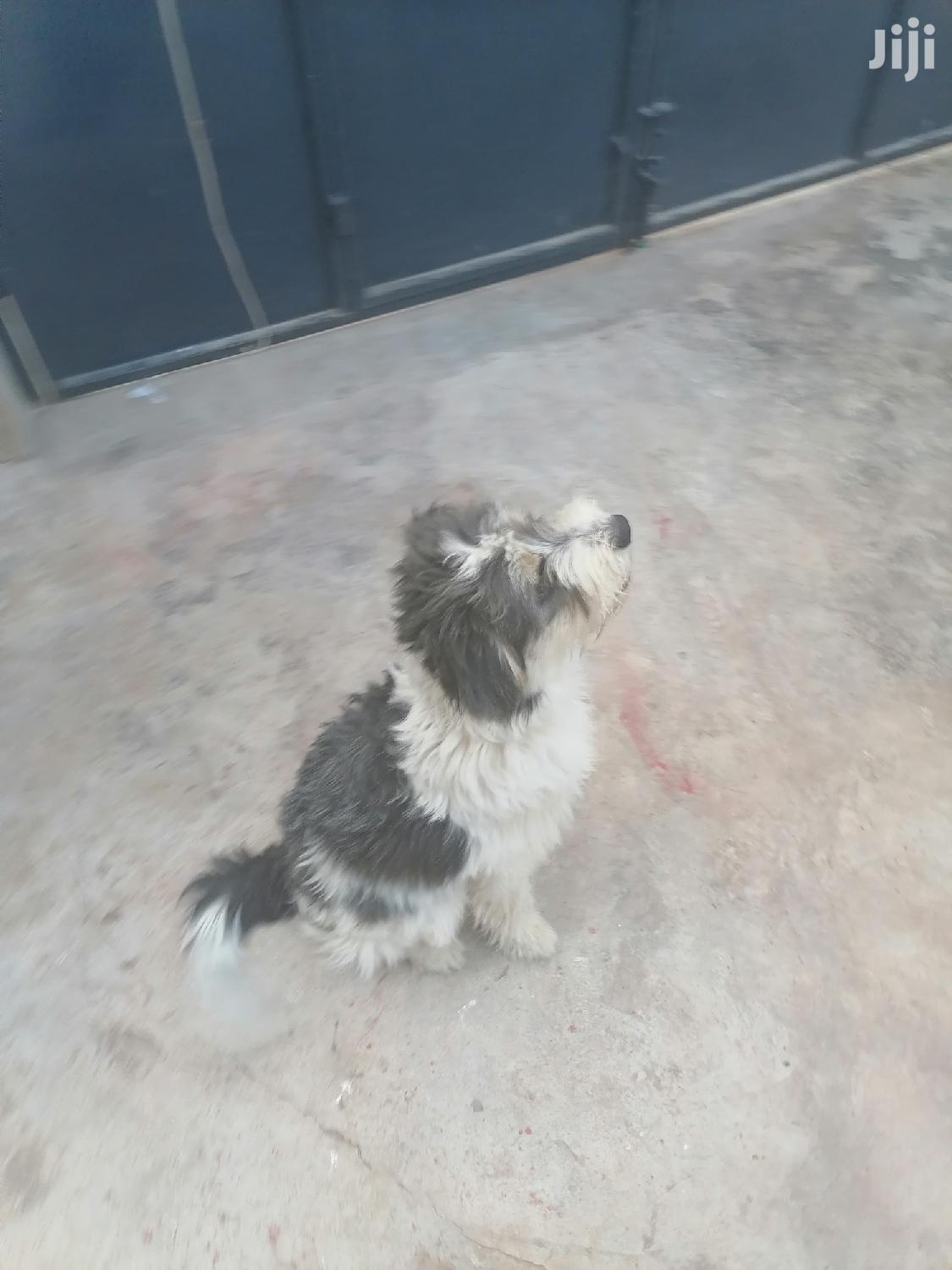 Archive: Young Male Mixed Breed Maltese