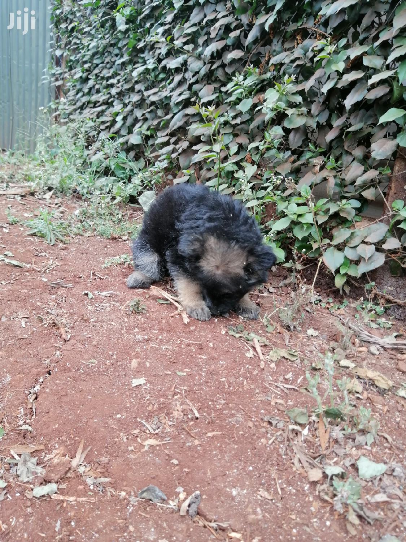 Baby Female Purebred German Shepherd | Dogs & Puppies for sale in Kabete, Kiambu, Kenya