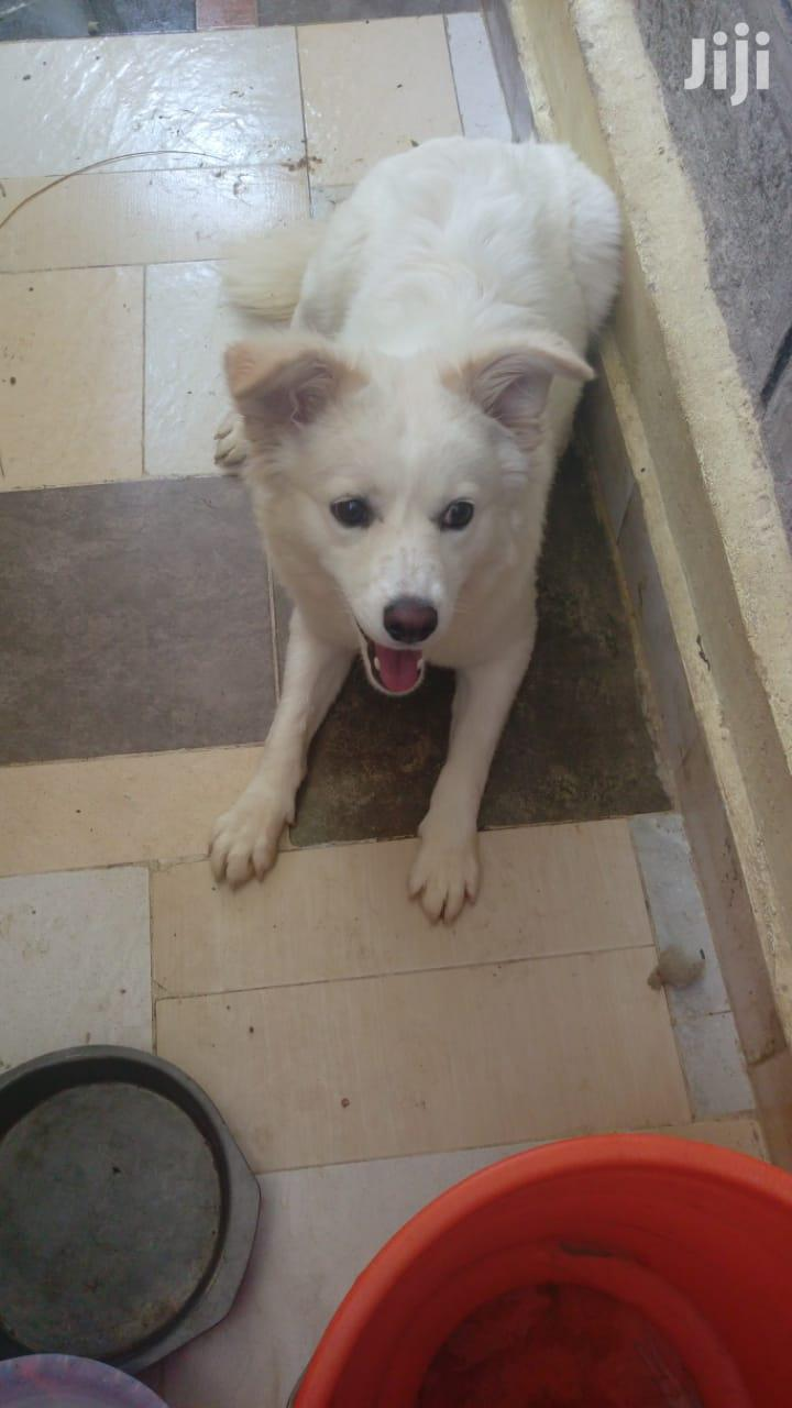 Archive: Young Female Mixed Breed Japanese Spitz