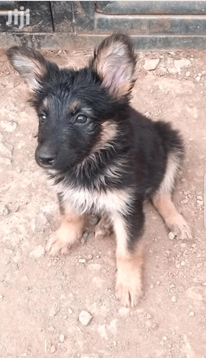 Young Female Purebred German Shepherd | Dogs & Puppies for sale in Ruiru, Kiambu, Kenya